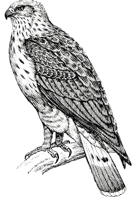 Hawk illustration